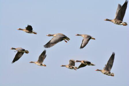 effarouchement oiseaux